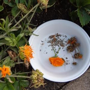 Goudsbloem zaden oogsten