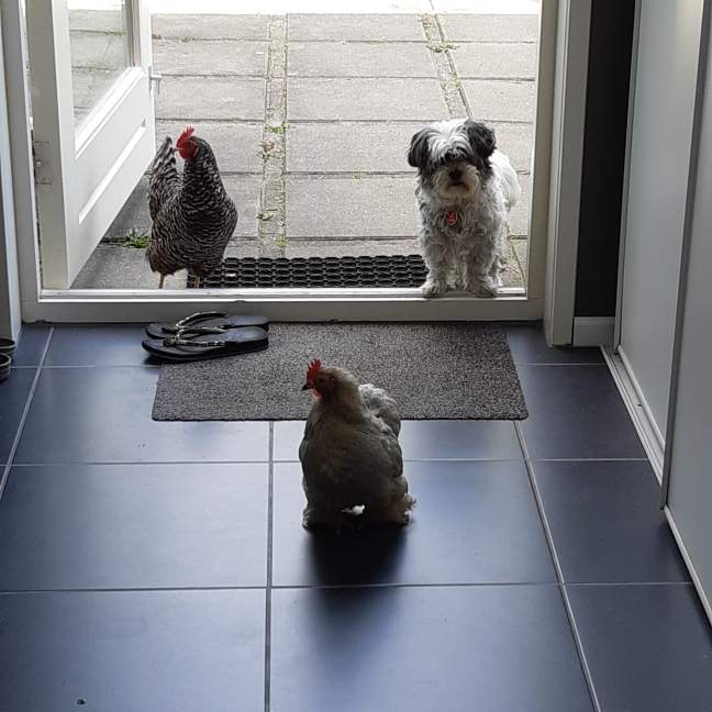Hond en kippen