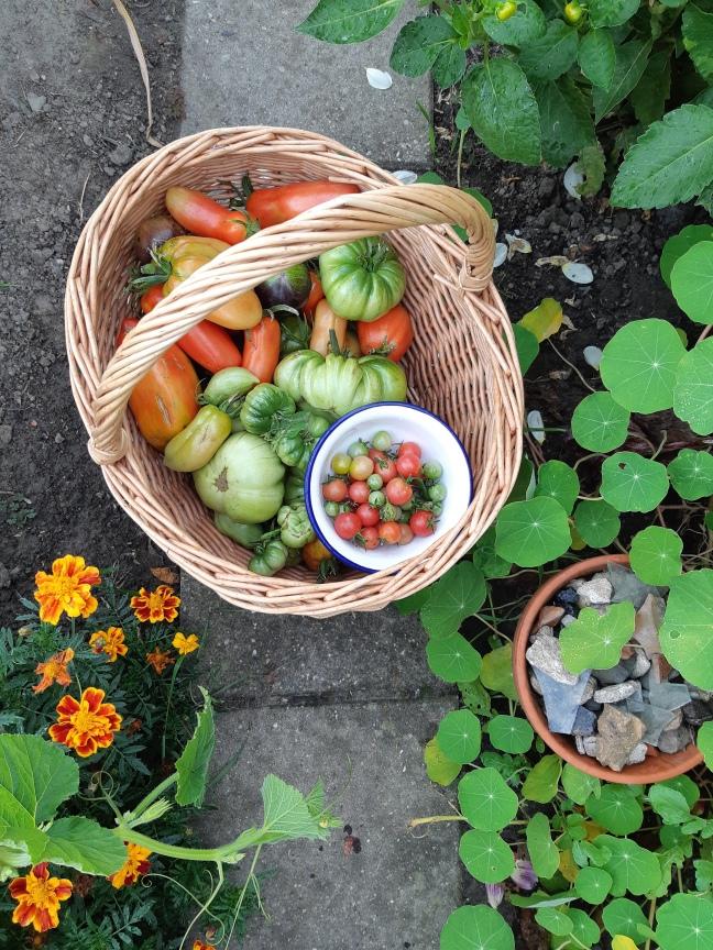 Groene tomaten rijpen
