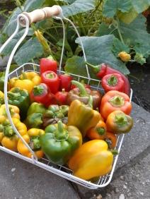 Paprika oogst