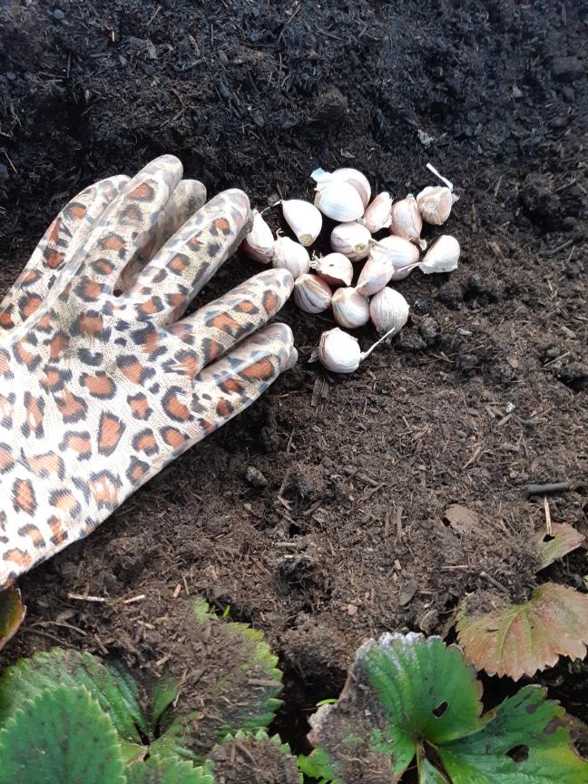 Knoflook planten