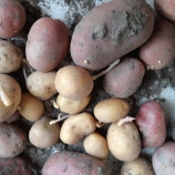 Aardappeloogst controleren