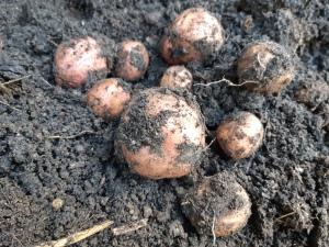 Aardappels telen in pot