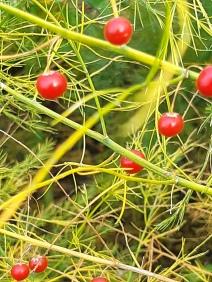 Zaden asperge