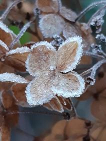 Rijp hortensia