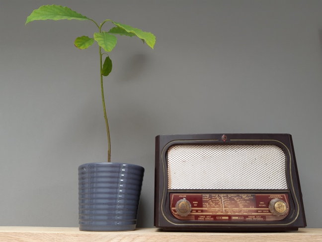 Avokadoplant kweken