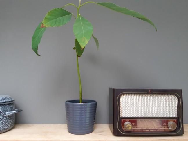 Avocadoplant kweken