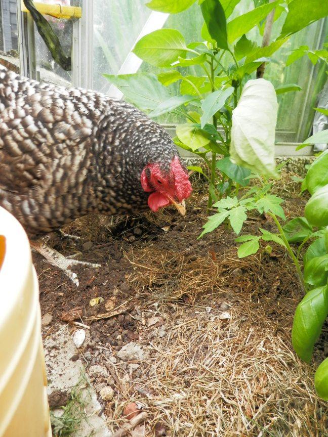 Mulchen tuinieren tijdens droogte
