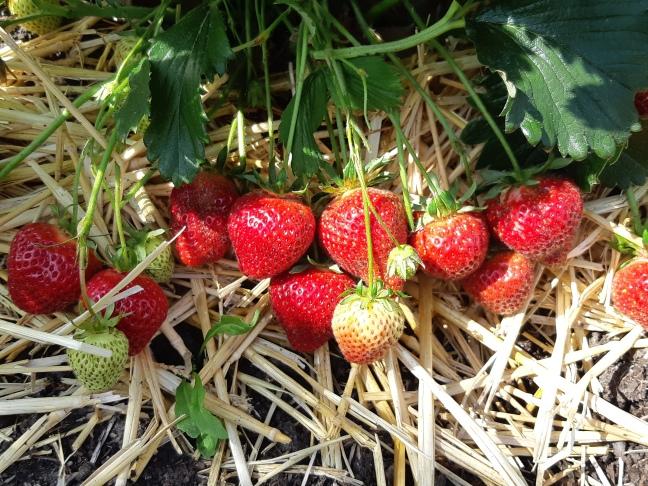Aardbeien moestuin