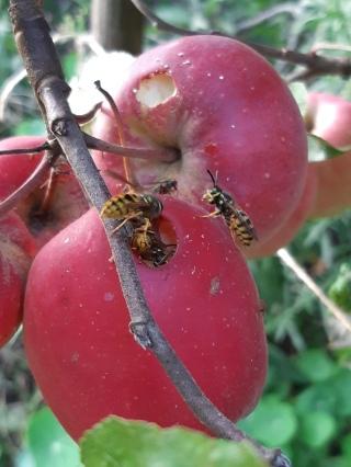 Appels aangetast door wespen