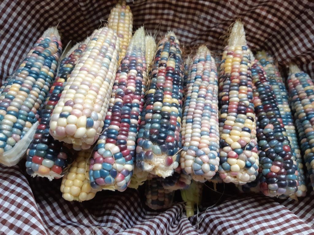 Maïs Glassgemcorn