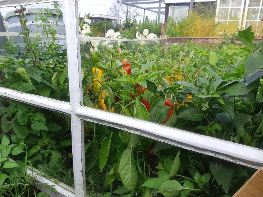 Paprika oogsten