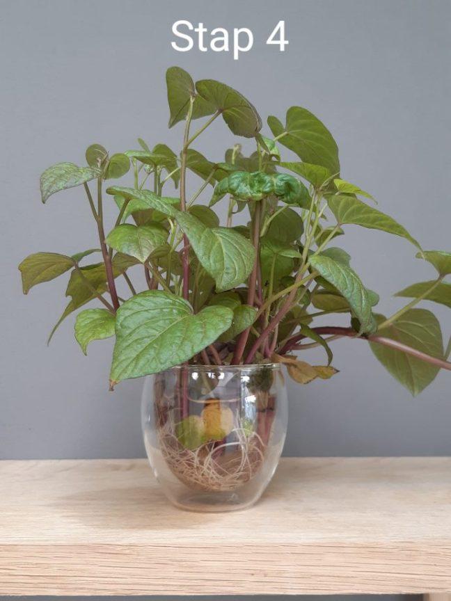 Stappenplan zoete aardappel kweken