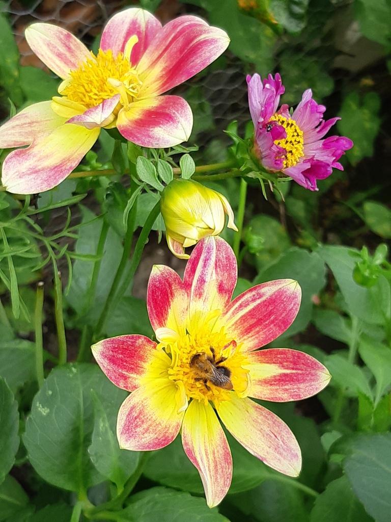 Dahlia met open bloem
