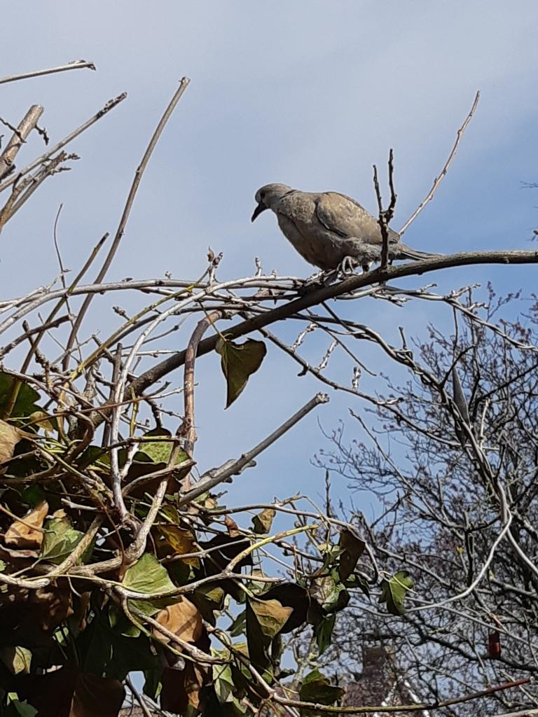 Turkse tortel duiven