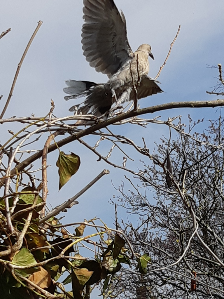 Turkse tortel duiven nestje