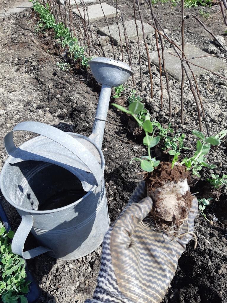 Erwten planten in de moestuin