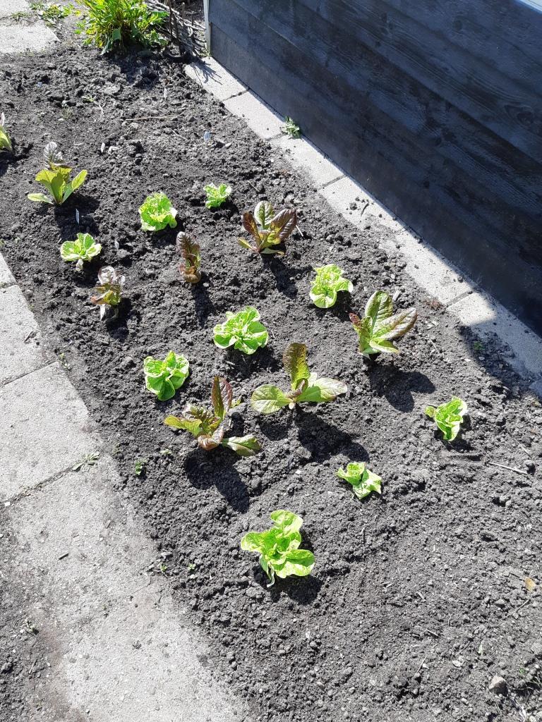 Zaailingen uitplanten