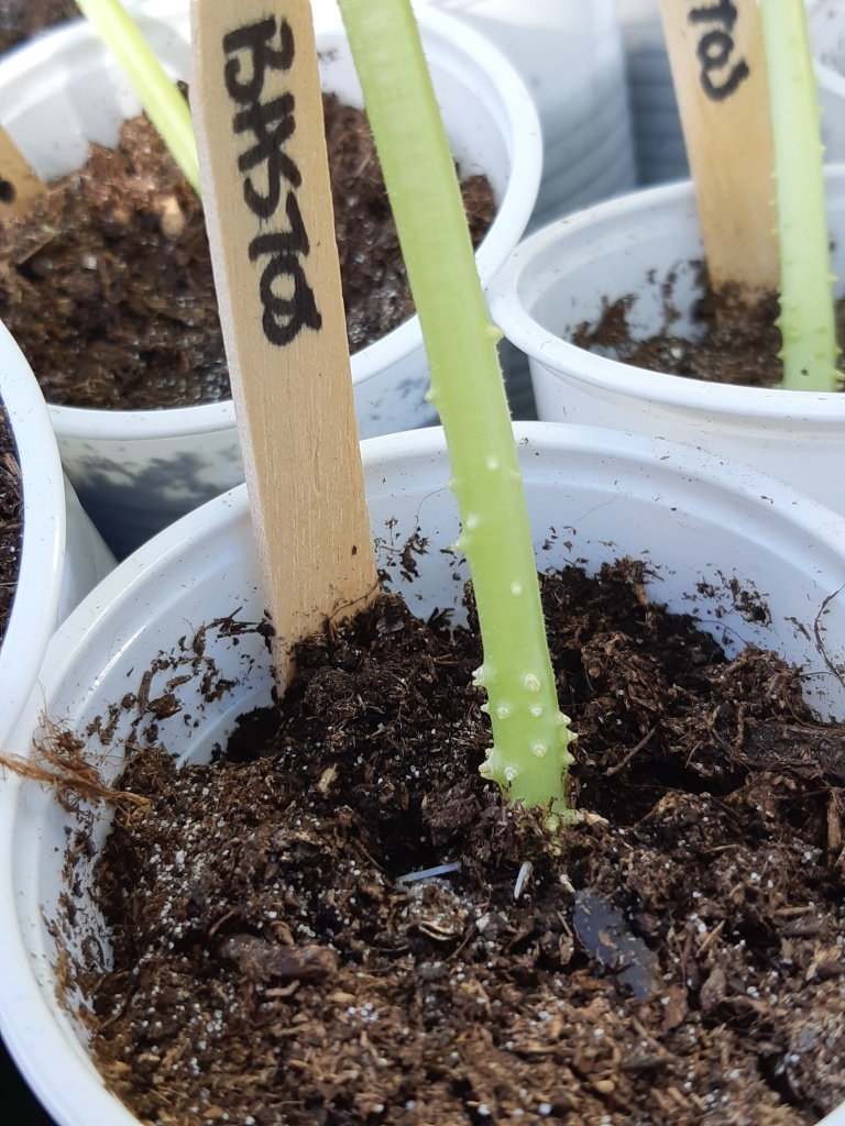 Uitplanten tot de kiemblaadjes