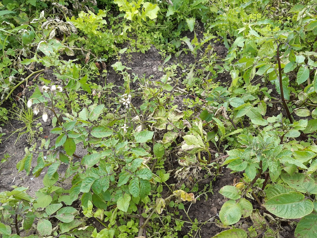 Phytophthora aardappels