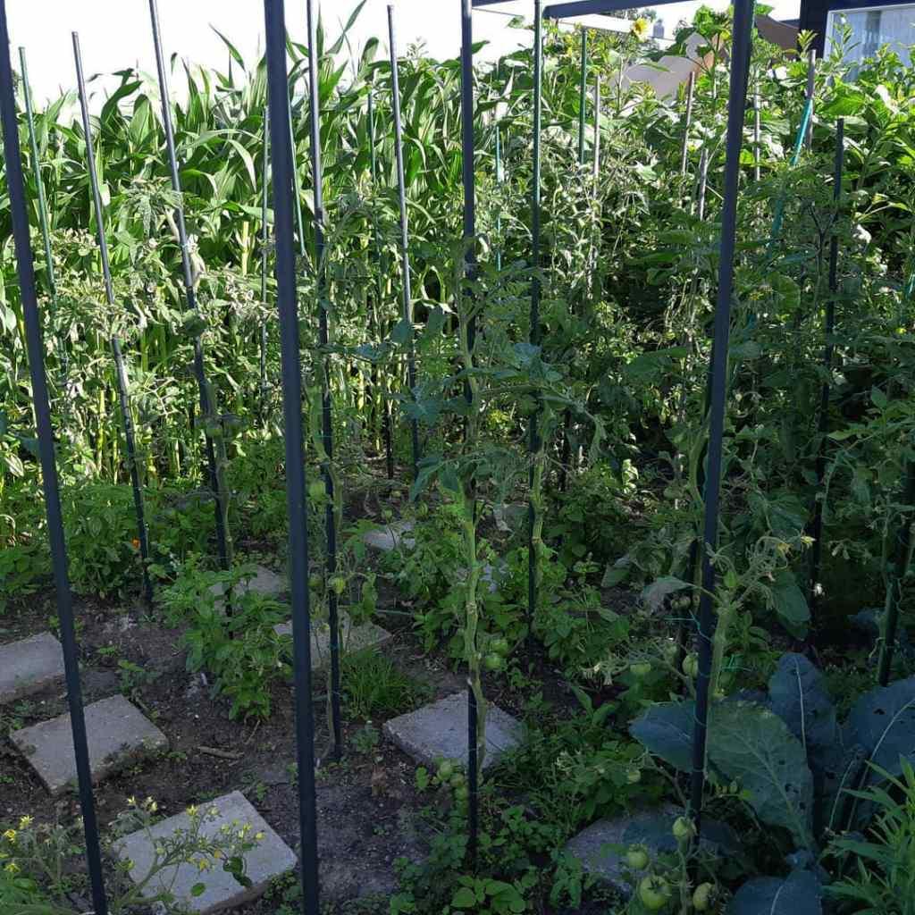 Phytophthora tomaten