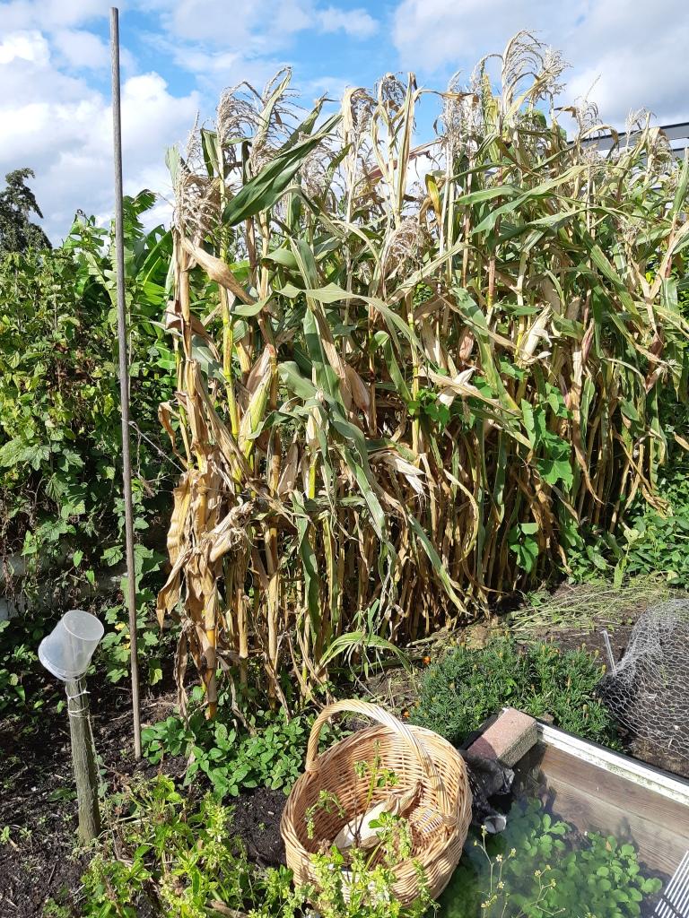 Maïs kweken en drogen
